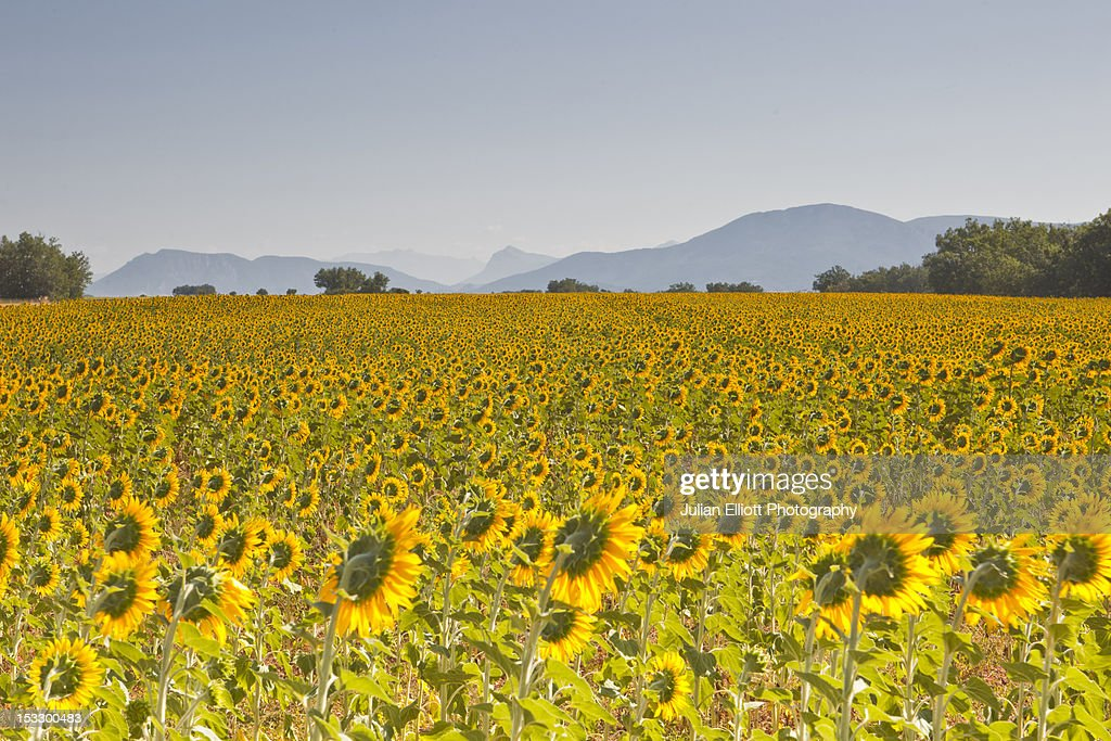 Fields of sunflowers on the plateau de Valensole. : Stock Photo