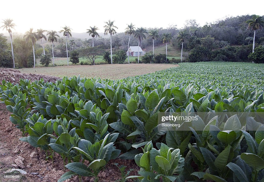 Fields of tobacco plants are seen on a plantation near Pinar del Rio, Cuba, on Sunday, Jan. 13, 2013. In a country where the average monthly salary is $19, according to Cuba's statistics agency, even buying an airplane ticket will be beyond the reach of most of the island's 11 million residents as President Raul Castro begins easing travel rules on the communist island. Photographer: Andrey Rudakov/Bloomberg via Getty Images