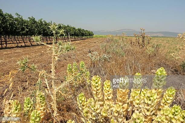 Fields, vineyards, shell flowers,the Lower Galilee