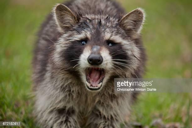 Fierce raccoon baring teeth in grass