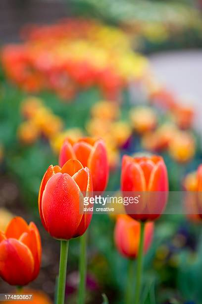 Fiery Red Tulips