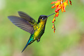 Fiery-throated Hummingbird (Panterpe insignia) hovering in front of a flower at 9000 feet (2750 m) in the central mountains of Costa Rica.  This medium-sized hummingbird has a very restricted range: h