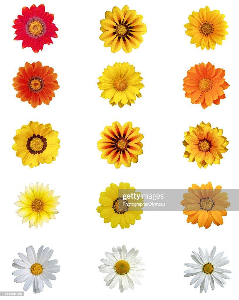 Fünfzehn verschiedene Gänseblümchen-Blüten XXXL : Stock-Foto