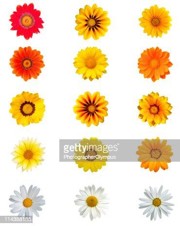 Fifteen different daisy blossoms XXXL+