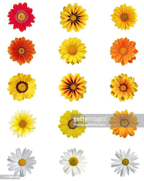 Fifteen different daisy blossoms XXXL+