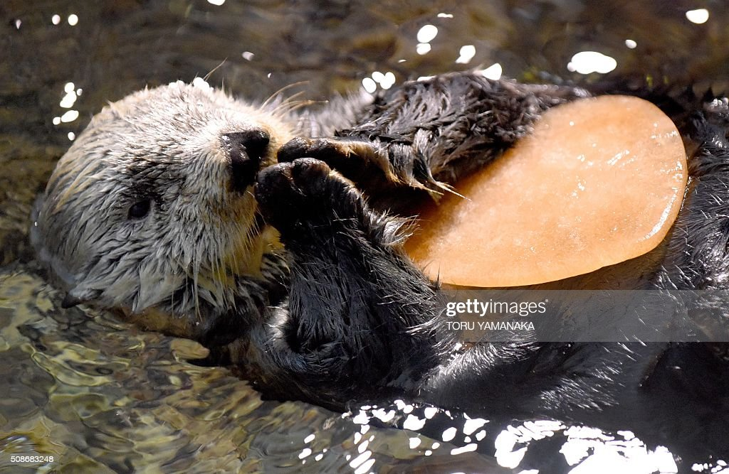 Fifteen year-old Alaskan sea otter 'Yutan' swims as he holds a heart-shaped piece of ice treat given to him by his keeper at the aquarium at the Hakkeijima Sea Paradise amusement park in Yokohama, a suburb of Tokyo, on February 6, 2016. AFP PHOTO / Toru YAMANAKA / AFP / TORU YAMANAKA