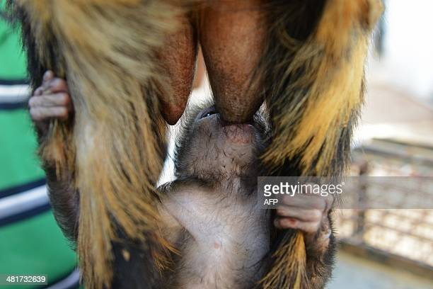 A fifteenday old orphaned baby monkey nurses from a rescued goat at the Asha Foundation animal shelter and hospital at Hathijan village some 20 kms...
