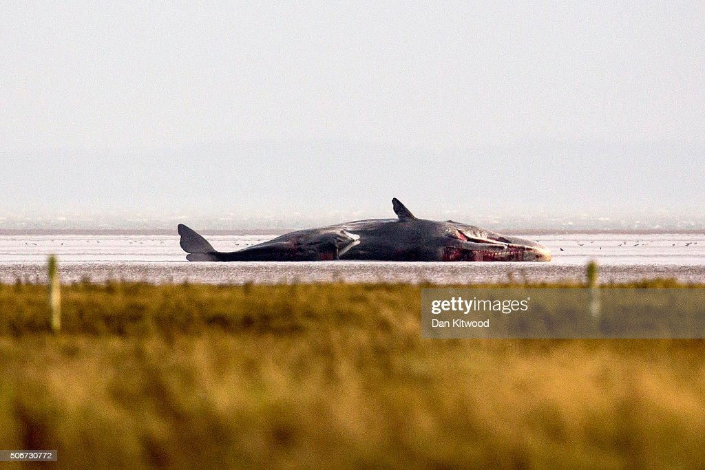 A fifth Sperm Whale is washed ashore at Wainfleet near Skegness, several miles further along the Lincolnshire coastline from where another four were washed up earlier, on January 25, 2016 in Skegness, England. The whales are thought to have been from the same pod as another animal that was found on Hunstanton beach in Norfolk on Friday.