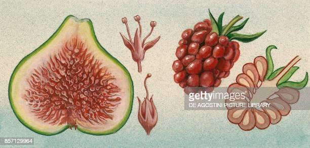Fig fruit with male and female flowers raspberry sectional drawing