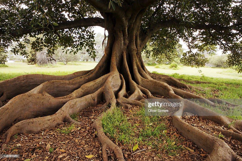Fig tree in Queens Park.