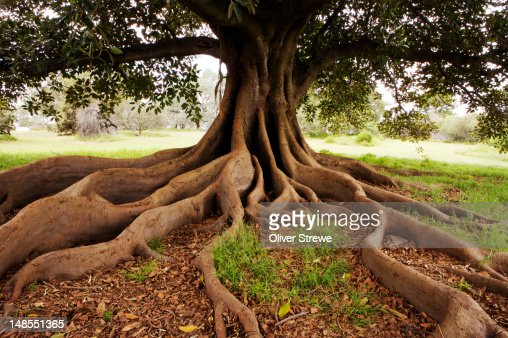 Fig tree in Queens Park. : Stock Photo