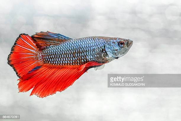 Fight fish