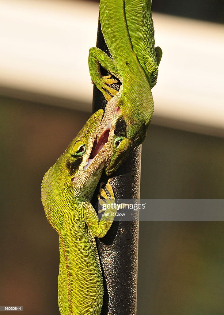 Fight of the Anoles lizards