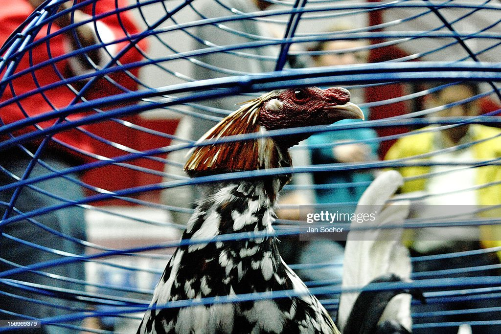 A fighting cock in the cage before the beginning of the match in the arena of San Miguel, Bogota, Colombia, 7 April 2006. Cockfight breeders usually cut their cock's feather off to create different shapes and so to make the birds visually attractive. Cockfight is a widely popular and legal sporting event in much of Latin America. The fight is usually held in an arena (gallera) with seats for spectators. There is always gambling involved in cockfights. People take advantage of cock's natural, strong will to fight against all males of the same species. Birds are specially bred to increase their aggression and stamina, they are given the best of food and care. The cocks are equipped with tortoise-shell made gaffs tied to the bird's leg. The fight is not intentionally to the death but it may result in the death of cocks very often because birds never stop fighting till they are dead.