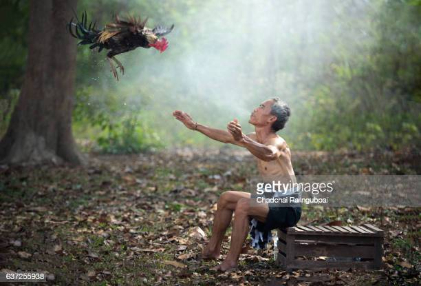 fighting cock