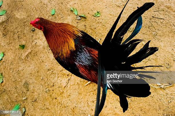 A fighting cock's tail seen in the breeding station in Cucuta Colombia on May 01 2006 Cockfight is a widely popular and legal sporting event in much...