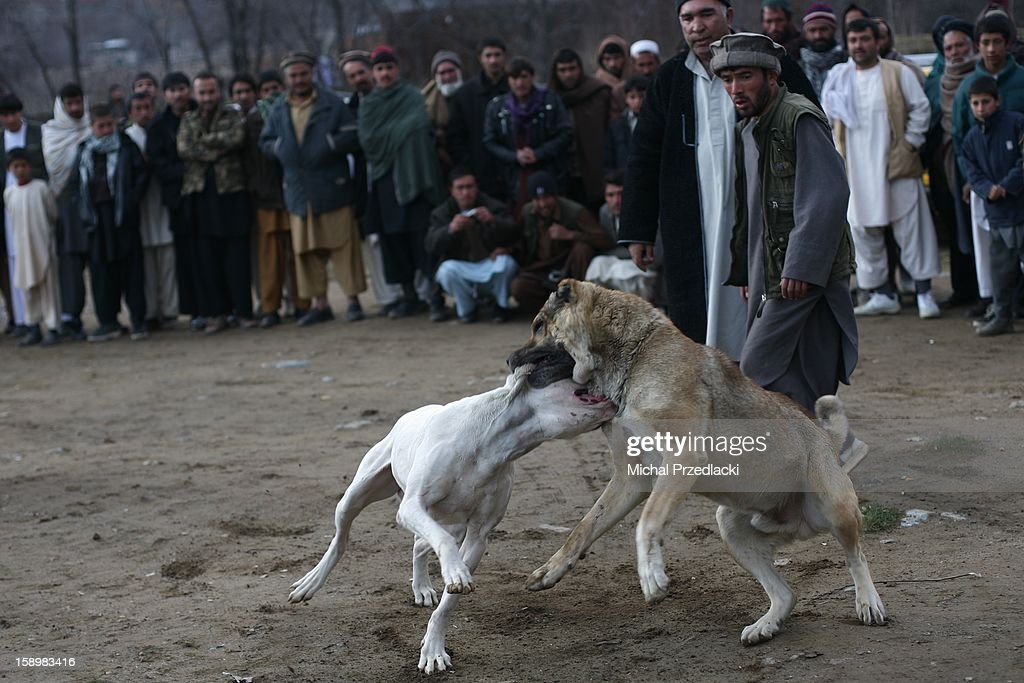 CONTENT] Fighting dogs. December 2011, Paghman, Afghanistan. Dog fights is a very popular sport and hobby in Afghanistan, one that involves massive Mastiffs trained from early days by their owners and masters, blood and obviously thousands of dollars changing hands when the result of fight is known. Dog fights were not allowed under the Taliban, and this hobby made a great return as soon as Taliban were forced to leave in result of 2001 invasion. What I saw often happening is that a dog fight would end up in a fight of dozens of men betting on both dogs, as soon as someone would notice that one of owners tries to help his dog defeat the other. Then an angry circle would form around dogs, and Afghans would start exchanging blows between themselves, while dogs continued to fight.. But, about the ongoing boxing industry in Afghanistan, perhaps some other time.