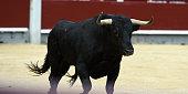 Fighting european bull
