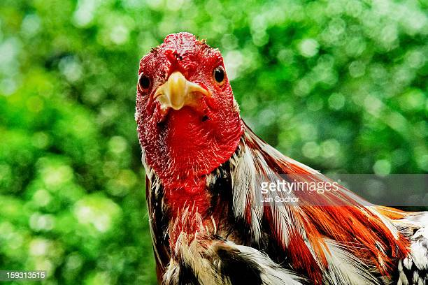 A fighting rooster looks on in the breeding station in Cucuta Colombia on May 01 2006 Cockfight is a widely popular and legal sporting event in much...