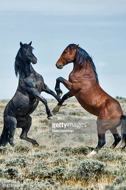 Fighting wild horses