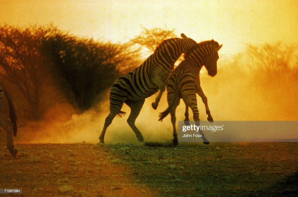 fighting zebras : Stock Photo