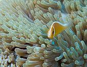 Fiji, Vanua Levu Island, pink anemonefish (Amphiprion perideraion)