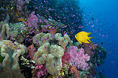 Fiji, yellow damselfish (Stegastes planifrons) beside coral reef