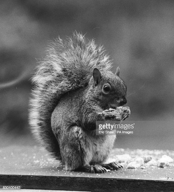 File dated 22/11/88 of a grey squirrel A royal rift developed Tuesday June 6 2000 over the issue of GM crops with the Duke of Edinburgh reportedly...