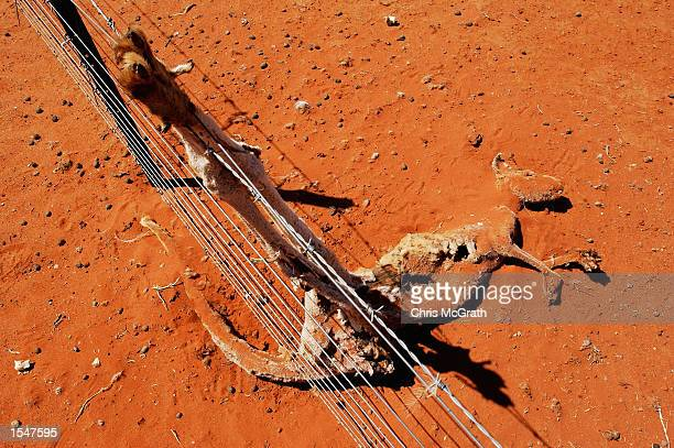 A file photo shows the carcass of a Kangaroo as it rots by a fence at Teryanynia Station on October 21 2002 in Wilcannia New South Wales Australia...