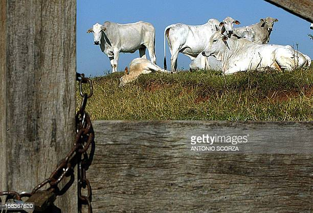 File picture of cattle on May 31 2003 near to the edge of a road 55 km from Presidente Epitacio village western Brazil China and South Africa have...