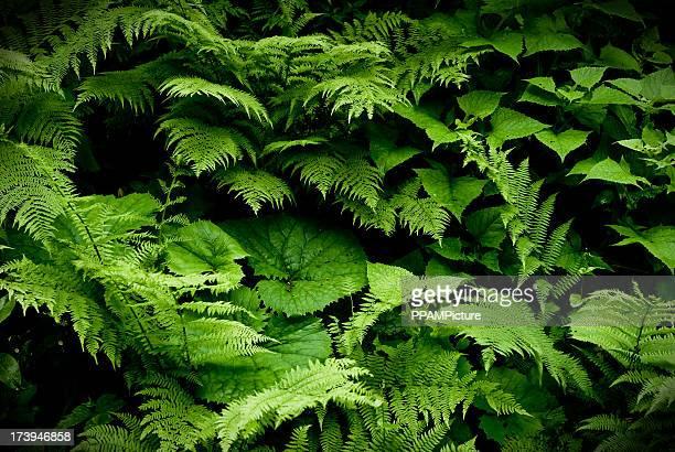 Filicopsida またはシダの葉…。