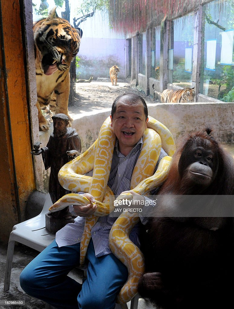 Filipino-Chinese zoo owner Manny Tiangco shows his pet orangutan, Manny Pacquiao and an albino python as a Bengal tiger stands behind inside the Malabon Zoo in suburban Manila on October 3, 2013. The zoo joined the world on the eve of World Animal Day to create awareness to people to protect and conserve the environment for the survival of the animals in nature. AFP PHOTO / Jay DIRECTO