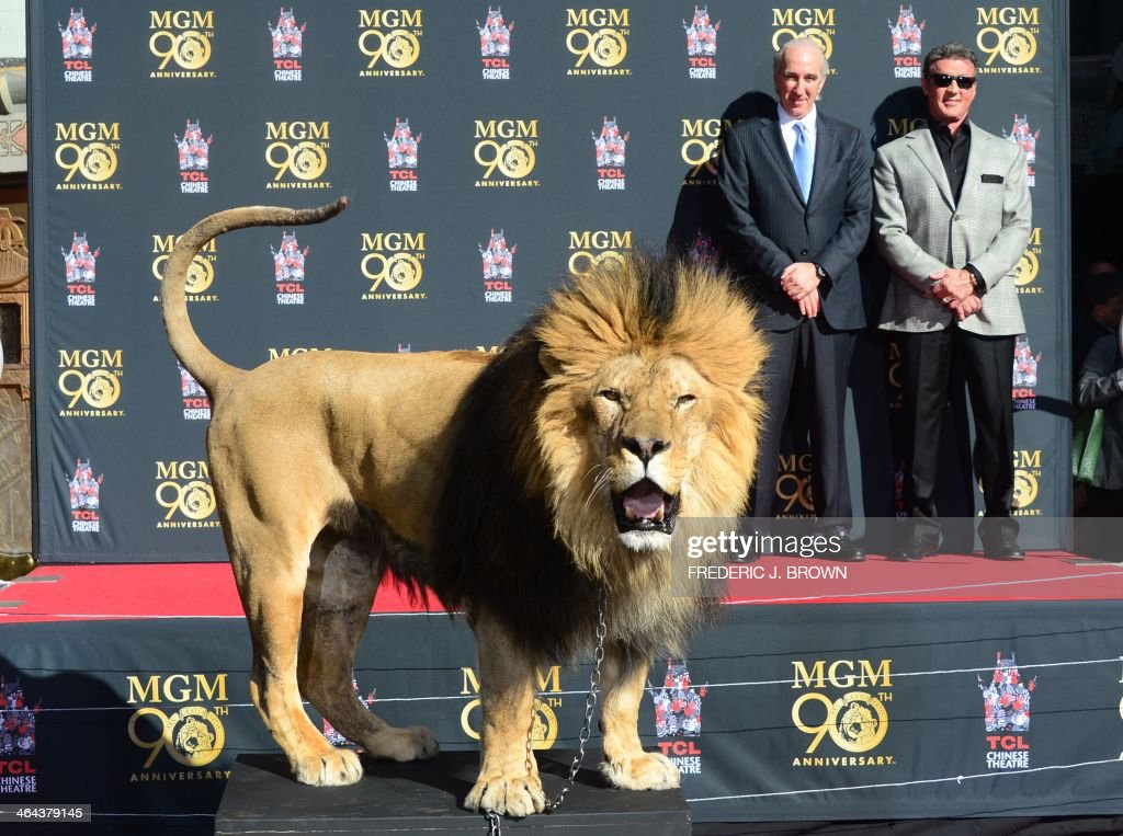 Film star <a gi-track='captionPersonalityLinkClicked' href=/galleries/search?phrase=Sylvester+Stallone&family=editorial&specificpeople=202604 ng-click='$event.stopPropagation()'>Sylvester Stallone</a> (rear/R) and MGM Chairman and CEO Gary Barber watch from the stage as Leo the Lion reacts to the cameras during a paw print ceremony at the TCL Chinese Theater celebrating the Metro-Goldwyn-Mayer studio's 90th anniversary on January 22, 2014 in Hollywood, California. AFP PHOTO/Frederic J. BROWN
