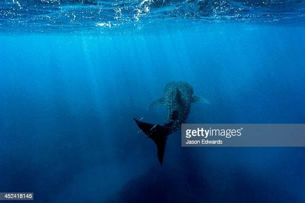 A filter feeding Whale Shark gliding through a vast blue ocean.