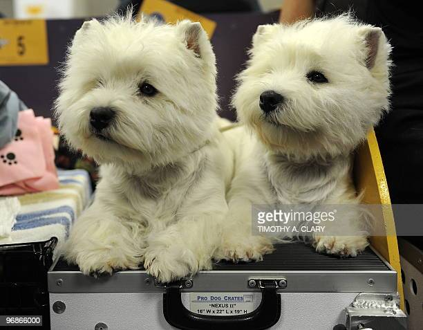 Fin and Hayley West Highland Terriers pose during the final day of the 134th Westminster Kennel Club Dog Show at Madison Square Garden in New York...