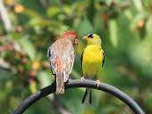 Photo of a House Finch and a Goldfinch perched together