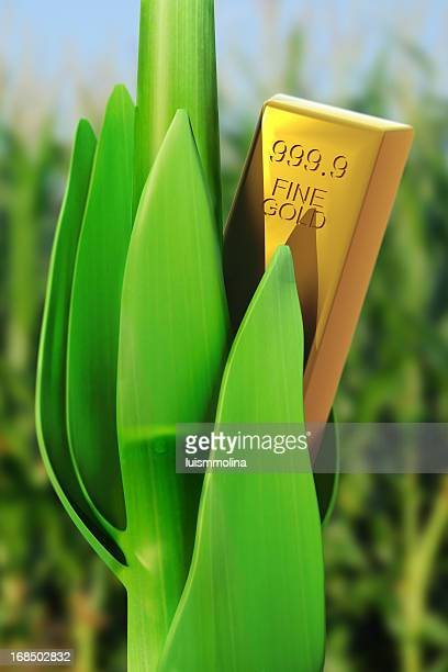 Fine Gold Bar in a Cornfield