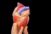 Fingers showing model of human heart isolated on black background. This artificial organ model is used for education in high school to learn students about biology. They learn about the human body and
