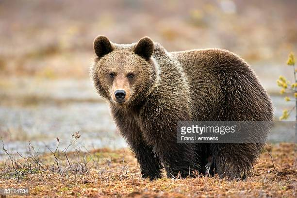 Finland, Brown bear.
