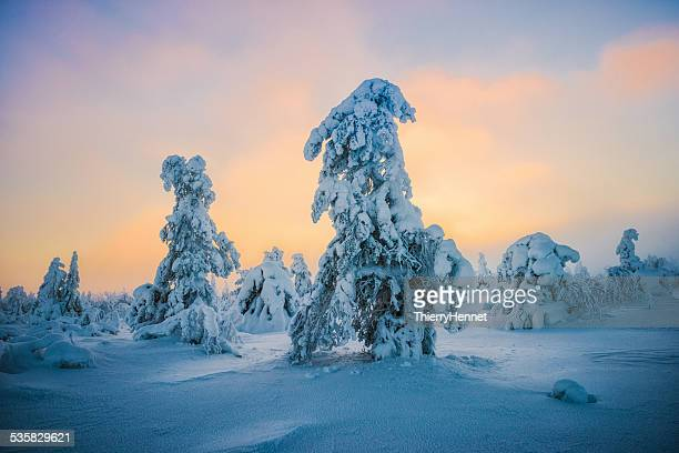Finland, Lapland, Luosto, Pine trees in winter