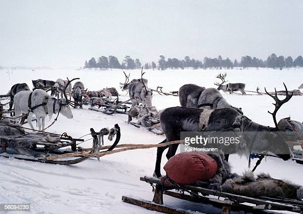 Finland, reindeer and sleds