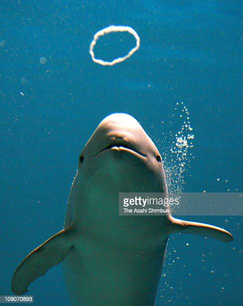 A finless porpoise blows a bubble ring during its performance at Kaikyokan Aquarium on May 18 2007 in Shimonoseki Yamaguchi Japan
