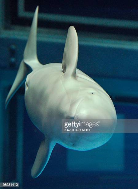 A finless porpoise swims in a tank at Osaka Kaiyukan Aquarium on May 7 2010 In commemoration of the 20th anniversary of the Osaka Kaiyukan Aquarium...