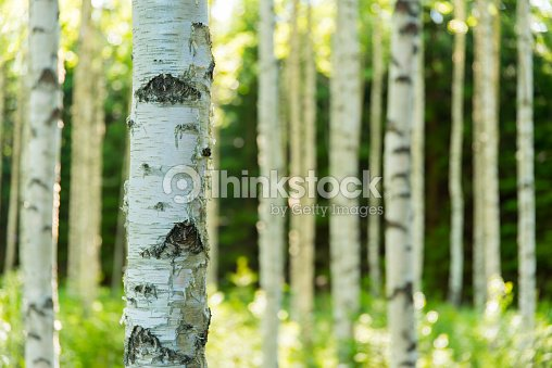 Bosque de abedul de finlandesa : Foto de stock