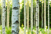 Daytime photo of a birch forest in Finland.