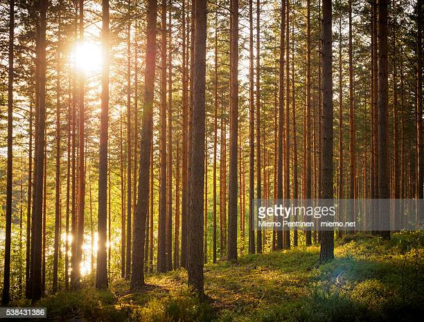 Finnish pine tree forest with evening sun streaming through the trees