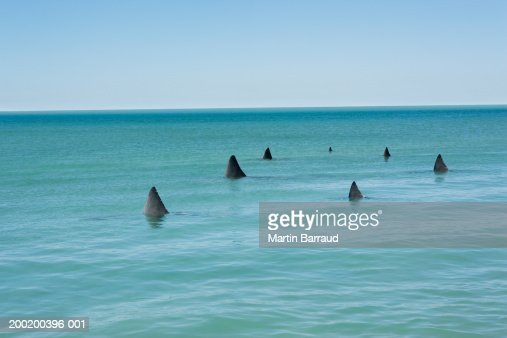 Fins of Great white sharks breaking surface of sea