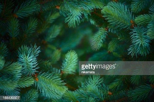 Fir branch background