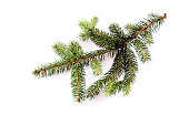Fir tree branch isolated on a white background with copy space