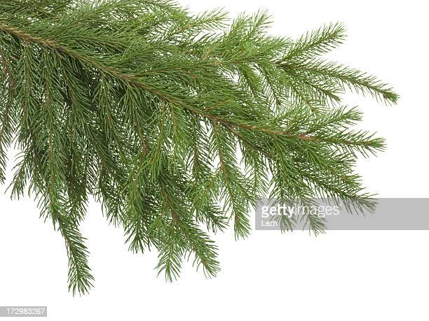 Branche de sapin